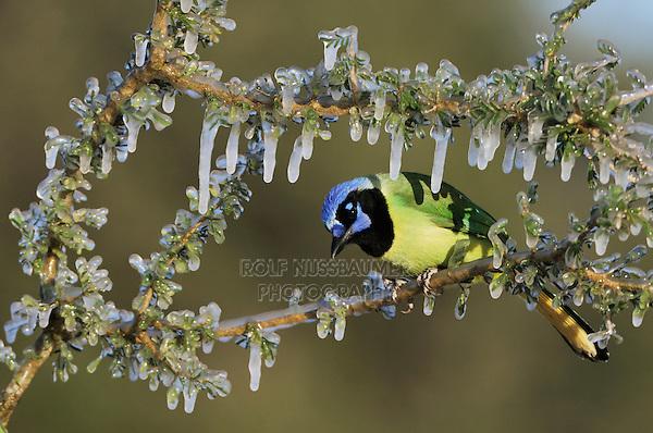 Green Jay (Cyanocorax yncas), adult on ice covered branch, Dinero, Lake Corpus Christi, South Texas, USA