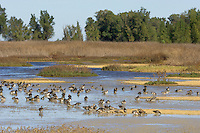 Ducks--mostly northern pintails, gadwalls and American wigeon--feeding and resting in shallow pond.  Western U.S., early October.