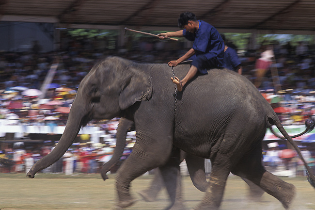 Elephant Race, Elephant Round-up, Surin, Thailand