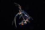 Phronima , Black Water Diving; Jellyfish; Plankton; larval crustaceans; larval fish; marine behavior; pelagic creatures; pelagic larval marine life; plankton creatures; underwater marine life; vertical migration marine creatures
