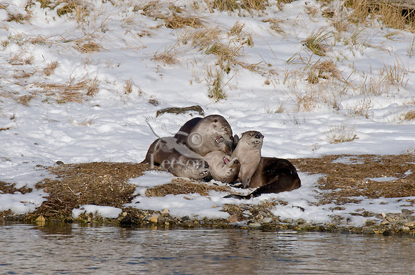 Northern River Otters (Lontra canadensis) playing on the bank ofYellowstone River, Yellowstone National Park, WY.  Late fall.