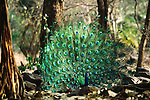 Common peafowl in display, Ranthambore National Park, India