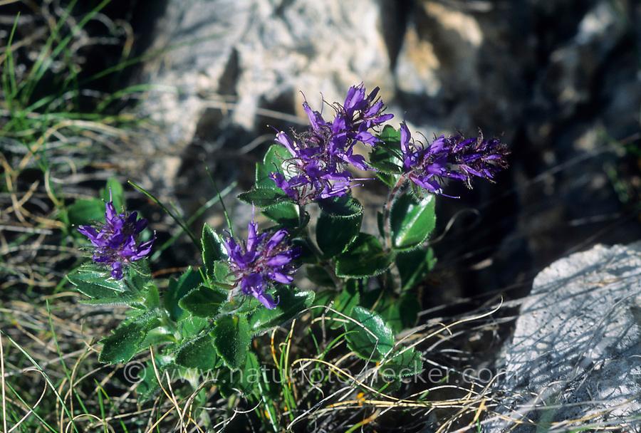 Blaues Mänderle, Wildes Mannderle, Dolomiten-Ehrenpreis, Paederota bonarota
