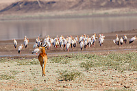 africa, Zambia, South Luangwa National Park,  impala and yellow-billed stork