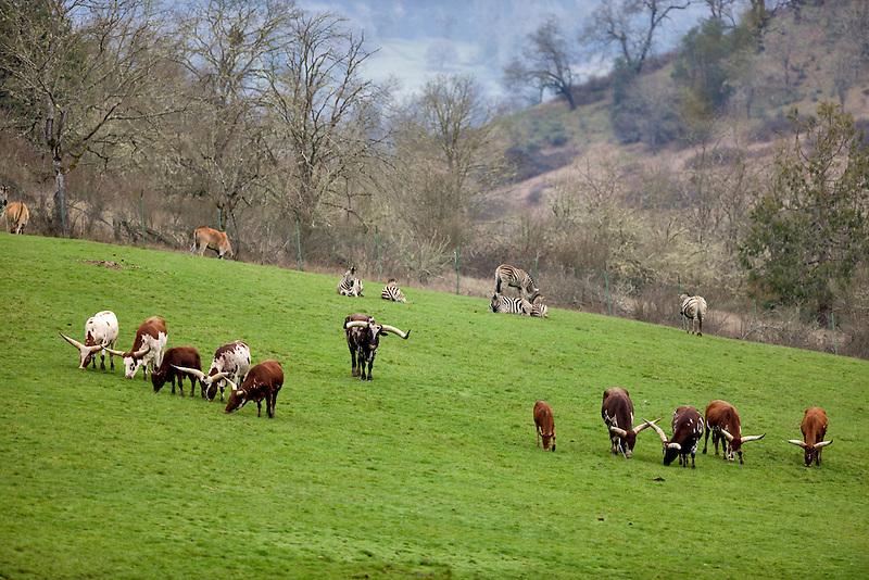 Meadow with animals at Wildlife Safari. winston, Oregon Watusi Cattle, Zebras, etc.
