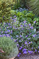 Blue flowering geranium 'Johnson's Blue' in perennial border; Gary Ratway garden