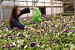 Julia Boyer, senior majoring in Botany, waters the pansies in the BYU Green House wednesday morning at 7:30am.....Photo by Annie Jones/BYU