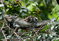CALI- COLOMBIA-21-06-2003. La iguana, iguana verde o teyú (Iguana iguana) es un gran lagarto de América Central y de Sudamérica  The iguana, green iguana or Teyú (Iguana iguana) is a large arboreal lizard from Central and South America (Photo::Luis Ramirez).