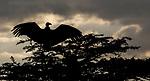 Kenya, Olare Motorogi Conservancy, white-backed vulture (Gyps africanus)