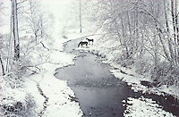 Horses drinking from a creek in snow