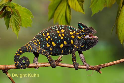 CH39-504z  Female Veiled Chameleon in display colors, Chamaeleo calyptratus