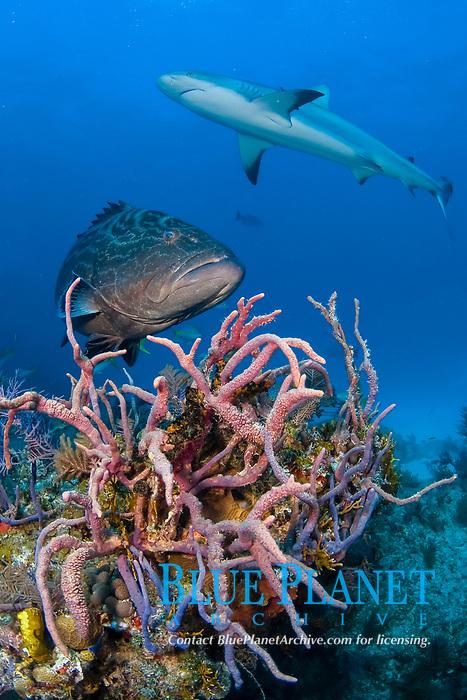 Black grouper, Mycteroperca bonaci, and Caribbean reef shark; Carcharhinus pereziii, swimming over coral reef, Bahamas Bank, Bahamas, Atlantic.