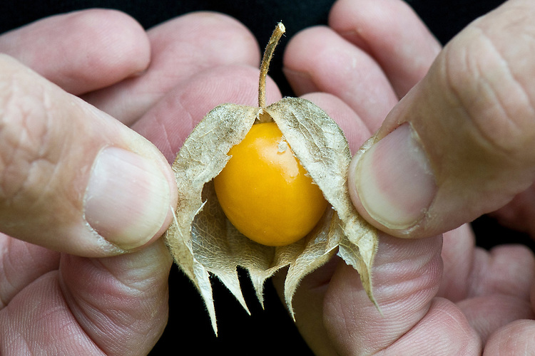 Peeling back the papery calyx of a Cape gooseberry (Physalis peruviana) to reveal the orange fruit. Also known as the Inca berry, Aztec berry, golden berry, giant ground cherry, Peruvian groundcherry, and Peruvian cherry.