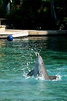 bottlenose dolphin, Tursiops truncatus, performs at Dolphin Quest, Hawaii (captive), Kona Coast, Big Island, Hawaii, USA, Pacific Ocean Ocean