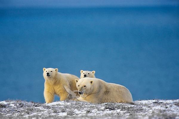 Polar Bears--sow with cubs--along the Beaufort Sea coast, Arctic National Wildlife Refuge, Alaska.  Oct.