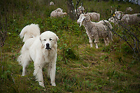 Great Pyrenees tending to the flock, Baa-tany Goat Program to restore the Roan's western grassy bald corridors, Roan Highlands.
