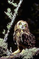 OW05-068z  Short-eared Owl -  Asio flammeus