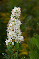 Close-up view of Meadowsweet (Spiraea alba), also known Pipestem or Narrowleaf Meadowsweet, in bloom in a wet meadow within Canaan Valley, West Virginia, USA