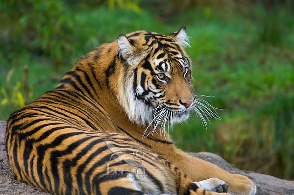 Sumatran Tiger (Panthera tigris)