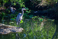 Great Blue Heron, Birds, Everglades National Park, Florida, FL, America, USA.