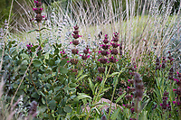 Salvia spathacea - Hummingbird sage, red flower perennial in drought tolerant California native plant garden