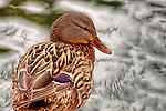 Duck posing, Costa Mesa, CA.