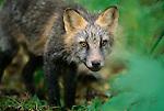 Portrait of Cross Fox.
