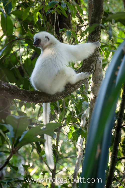 Adult Silky Sifaka (Propithecus candidus) in rainforest canopy. Marojejy National Park, Madagascar.