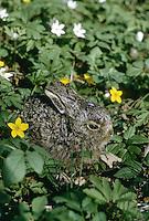 Europäischer Feld-Hase, Feldhase, Hase, Junges, Jungtier, Lepus europaeus, European hare