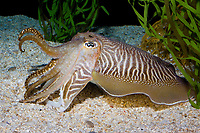 European Cuttlefish ( Sepia officinalis ) ( c ) Range: shallow waters of the Atlantic from Europe to Africa, also the Mediterranean Sea.