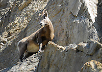 Big horn ewe looking over the  cliffs in Jasper National Park.