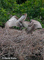 0308-0847  Flying Brown Pelican, Pelecanus occidentalis © David Kuhn/Dwight Kuhn Photography