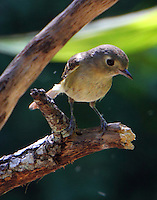 Hutton's vireo waiting for turn at bathing place