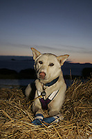 "Dee Dee Jonrowe' dog ""Hawk"" rests on a bed of straw  as the sun begins to rise on Monday morning at Unalakleet,  2005 Iditarod Trail Sled Dog Race."