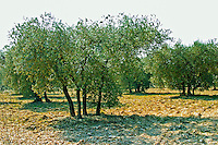 A typical quadruple four-trunk olive tree in Les Baux, Provence, Bouche du Rhone, France