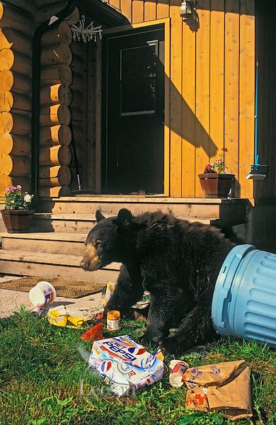 Black Bear raiding household garbage..Summer. Rocky Mountains..(Ursus americanus).