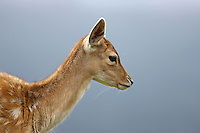Side view of a young fallow deer in front of a blurred background