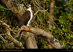 Osprey in Mangrove Swamp, Bunch Beach, Sanibel Island, Florida