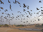 Huge flocks of cranes descend on a remote village to feed on grain.  Around 20,000 of the birds wheel in the skies above Rajasthan, India, where they spend winter.<br /> <br /> Residents of the village of Khichan put out thousands of kilos of grain every day to feed the Demoiselle cranes, the world's smallest variety.  The amazing scenes were captured by wildlife photographer Bill Coster from Essex.  SEE OUR COPY FOR DETAILS.<br /> <br /> Please byline: Bill Coster/Photoshot/Solent News<br /> <br /> © Bill Coster/Photoshot/Solent News & Photo Agency<br /> UK +44 (0) 2380 458800
