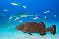 Black Grouper, Mycteroperca bonaci, and Caribbean Reef Sharks, Carcharhinus perezii, West End, Grand Bahamas, Atlantic Ocean