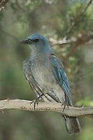 Mexican Jay, Aphelocoma ultramarina, adult, Paradise, Chiricahua Mountains, Arizona, USA, August 2005