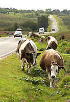 Cattle grazing New Forest common land.