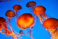 Living jellies art exhibit at The Monterey Bay Aquarium, Monterey, California