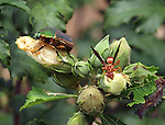 Insects on Rose of Sharon flower