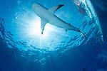Caribbean Reef sharks at surface, Cuba Underwater, Jardines de la Reina, Carcharhinus perezii, sunburst