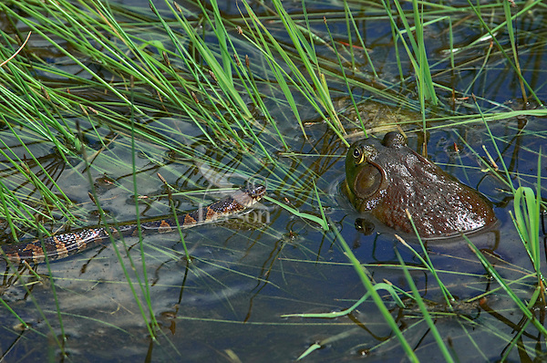 Bullfrog (Rana catesbeiana) and Northern Water Snake (Nerodia s. sipedon) in pond. May. Great Lakes Region. Niagara Falls, Ontario. Canada.