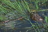 Bullfrog (Rana catesbeiana) and Northern Water Snake (Nerodia s. sipedon) in pond. May. Great Lakes Region. Niagara Falls, Ontario. Canada.