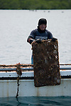 Worker lifts tray with pearl oysters to having them cleaned