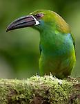 Ecuador, Andean cloud forest, chestnut-tipped toucanet (Aulacorhynchus derbianus)