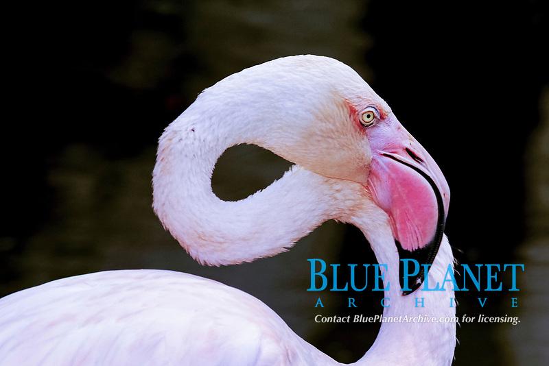 greater flamingo, Phoenicopterus roseus, Kuala Lumpur Bird Park, Kuala Lumpur, Malaysia (c)